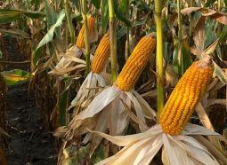 Com o atraso no plantio da soja, semeadura do milho safrinha precisará ser eficiente