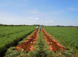 Melhoramento genético traz tecnologia para a cadeia produtiva da horticultura