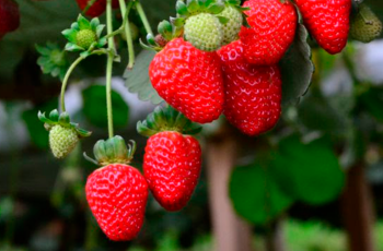 Epagri participa da rede Morangos do Brasil para desenvolver cultivares nacionais