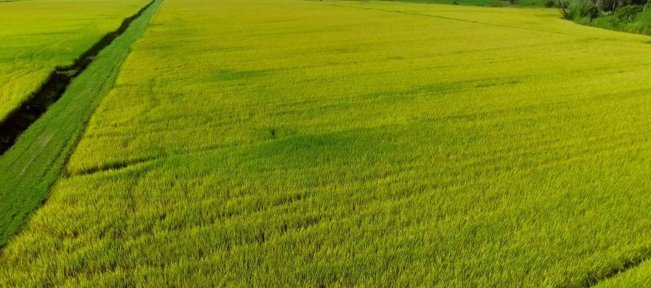 Cooperja multiplica nova cultivar de arroz lançamento da E...
